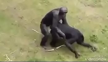 macaco transando